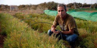 Emprendedores isleños ponen en marcha un cultivo de salicornia pionero en España