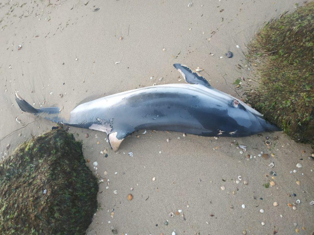 Hallan el cuerpo sin vida de un delfín en una playa de Isla Cristina